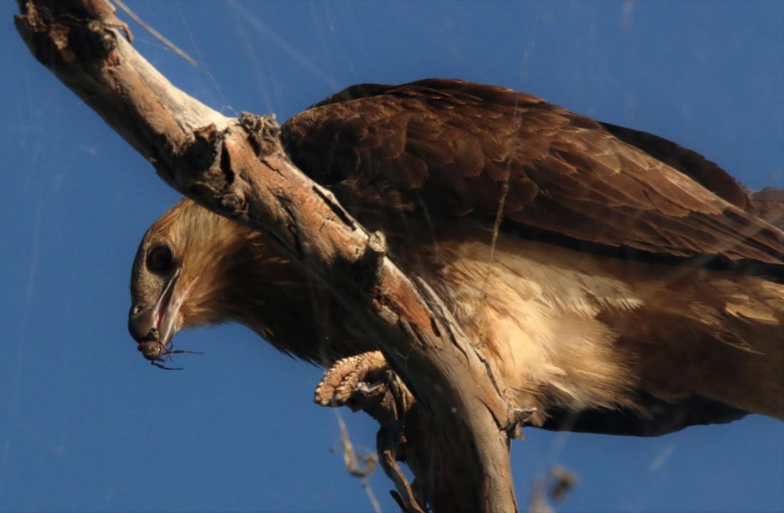 Kite, Whistling2