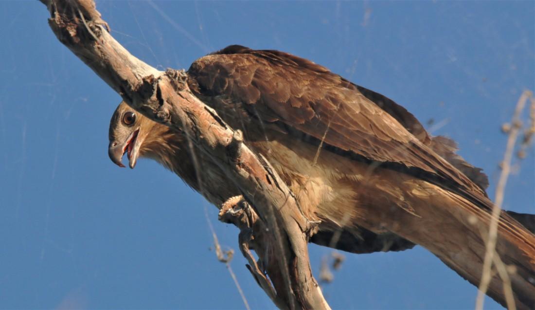 Kite, Whistling4