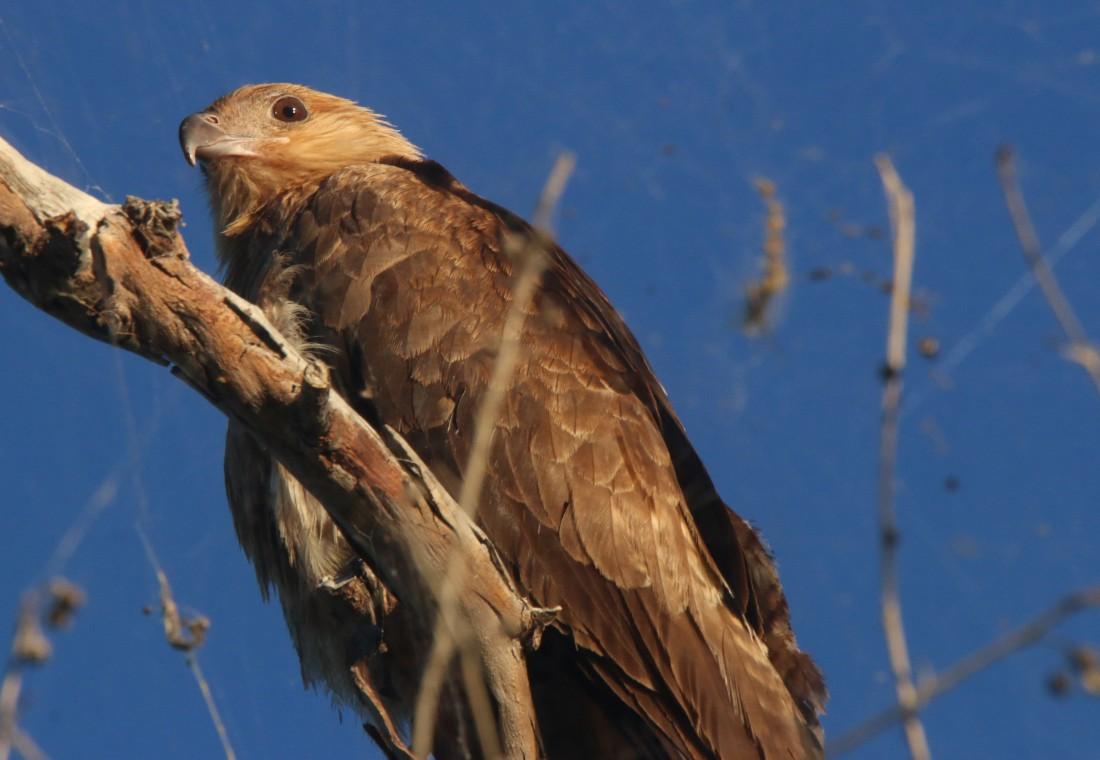 Kite, Whistling7