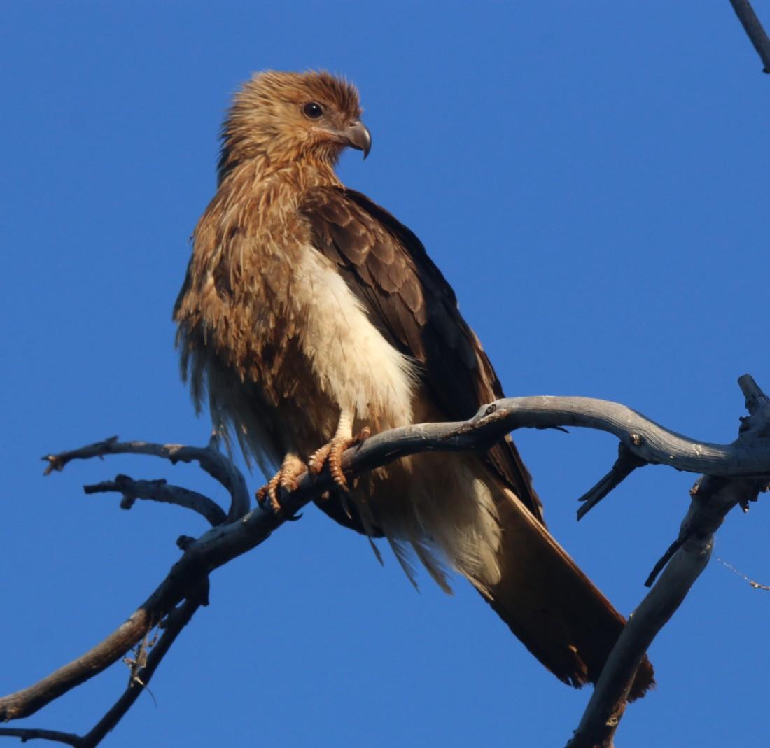 Kite, Whistling9