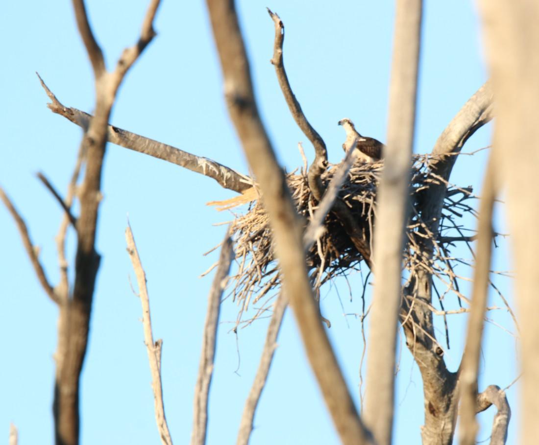 Osprey, Eastern