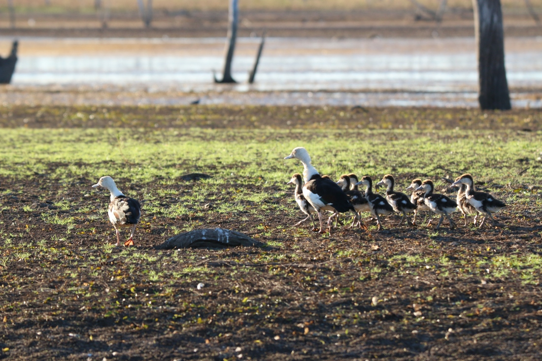 Shelducks, Radjah family 2