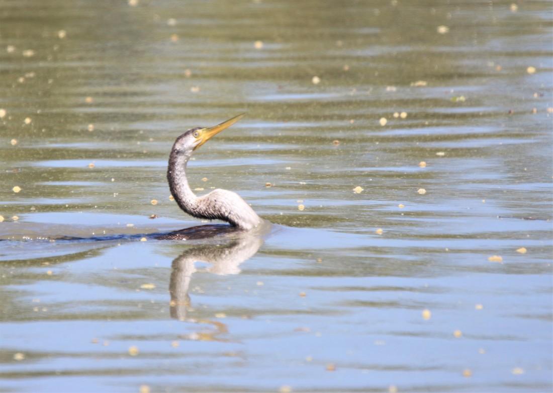 Snake Bird (Darter)