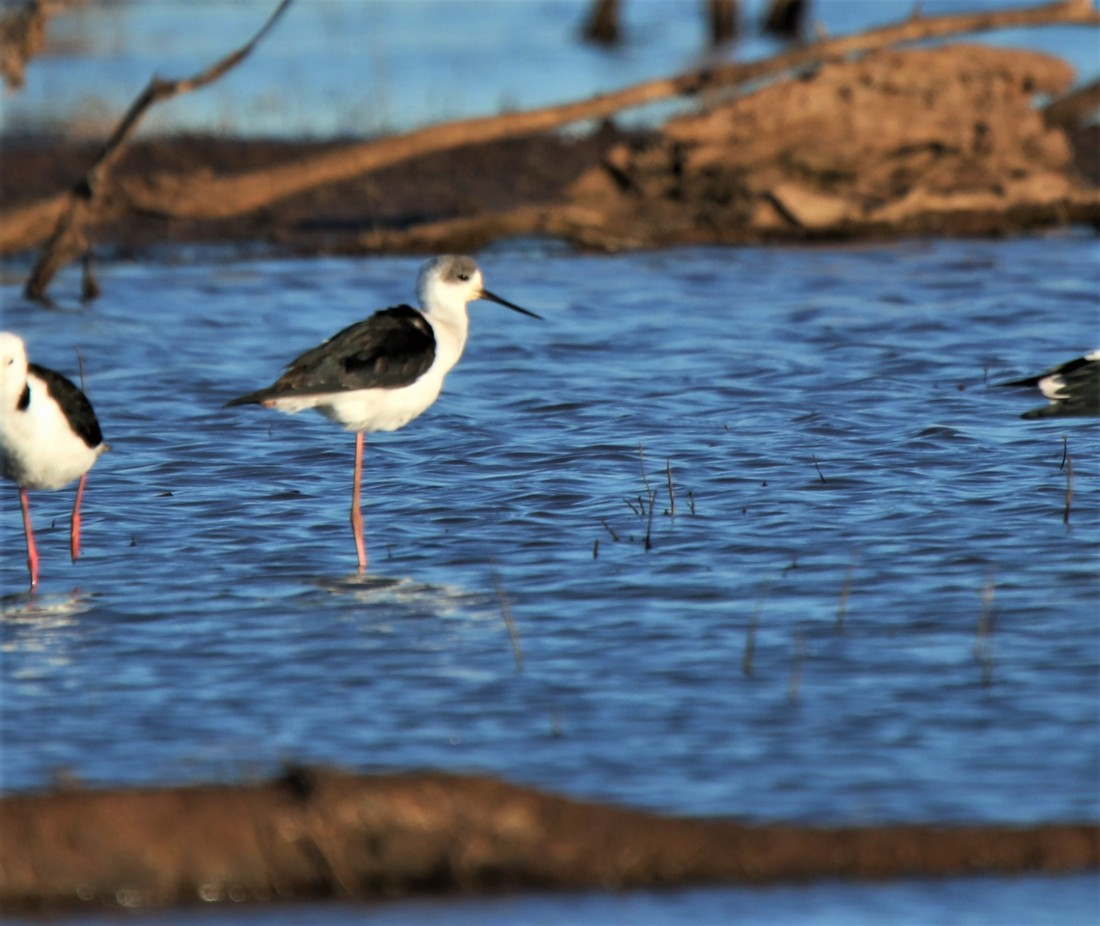 Stilt, White-headed imm