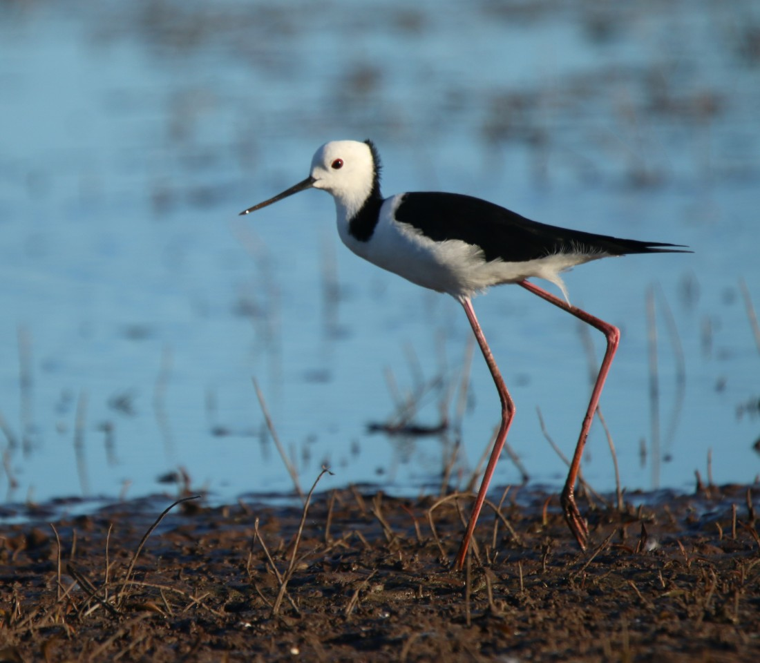 Stilt, White-headed