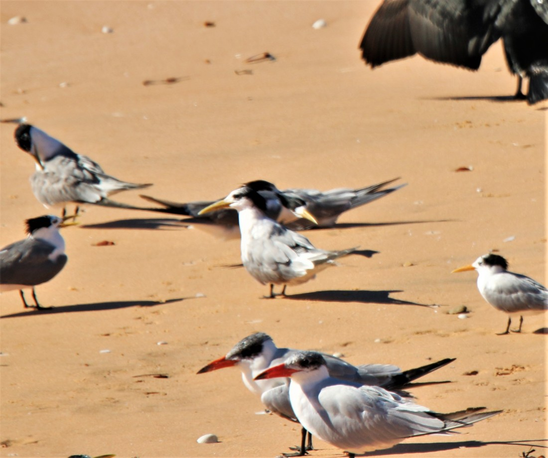Tern, Caspian(near) and imm Crested