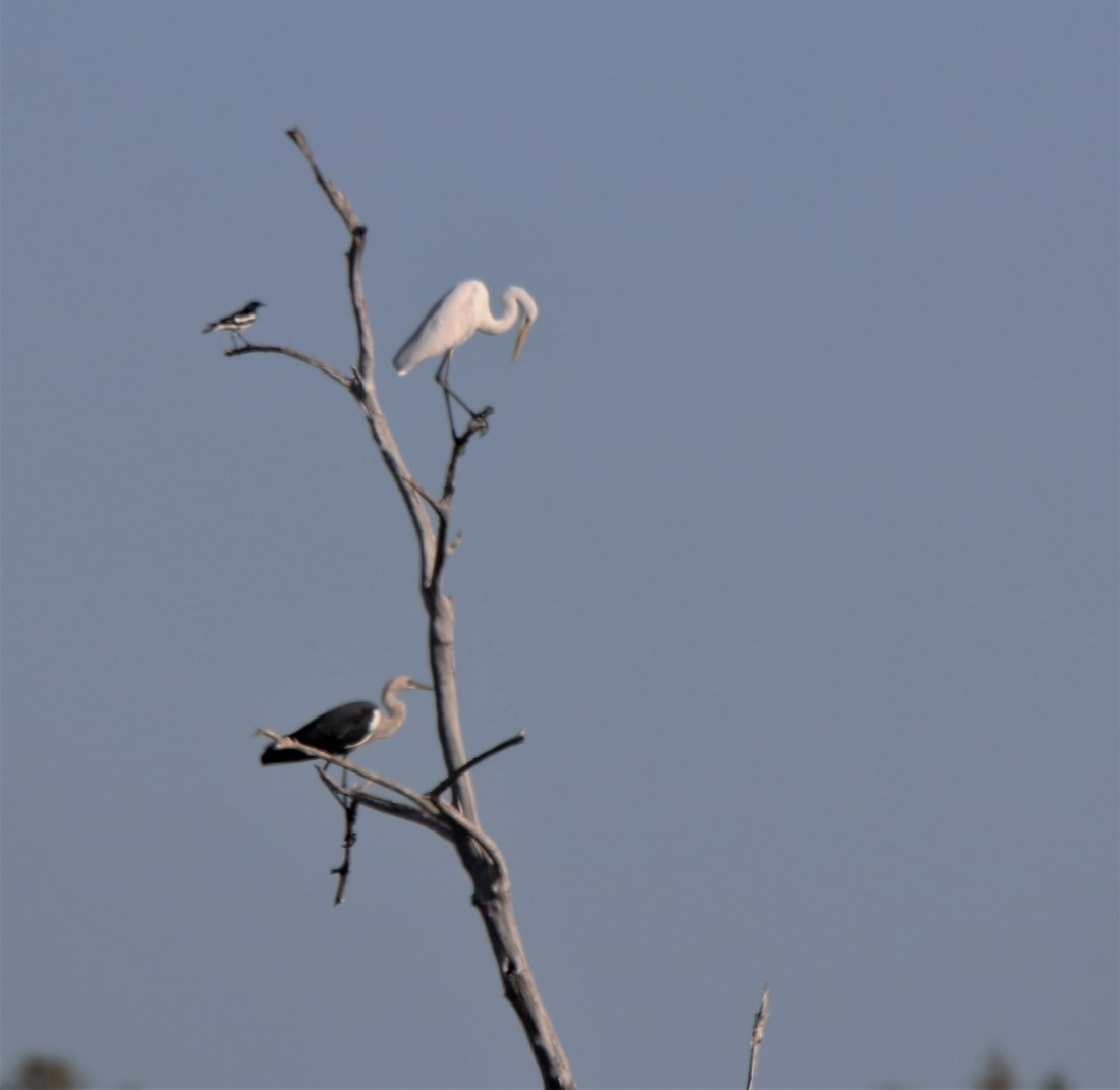 Wagtail, Great Egret and White-necked Heron