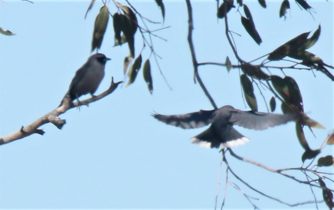 Woodswallow, Black-faced