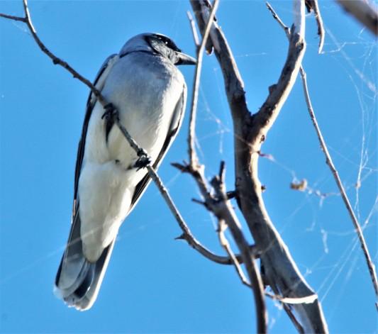 Woodswallow, Masked ad m 2