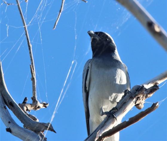 Woodswallow, Masked ad m