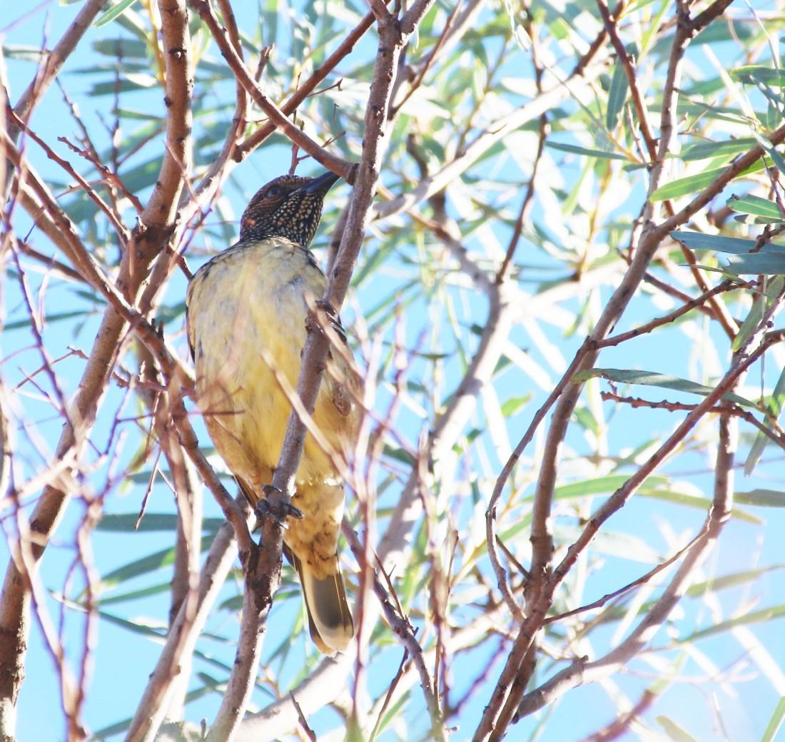 Bowerbird, Western