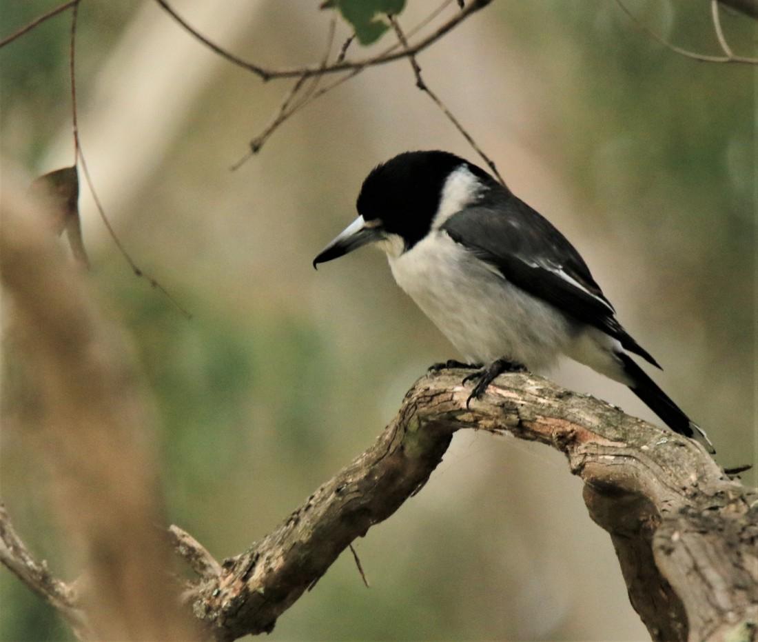 Butcherbird, Grey ssp leucopterus
