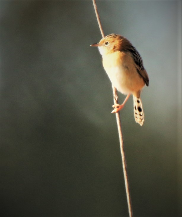 Cisticola, Golden-headed ssp exilis nonbr