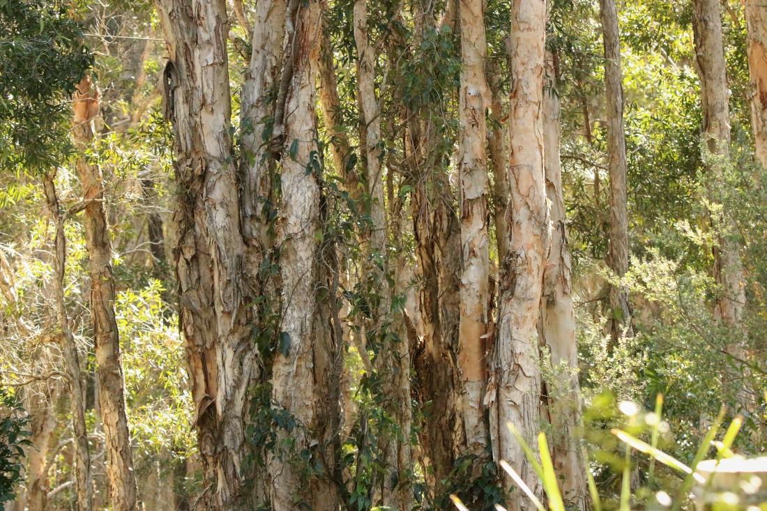 Eucalyptus, Paperbark