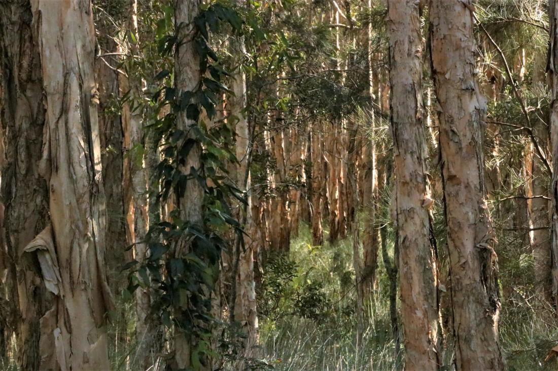 Eucalyptus, Paperbark2