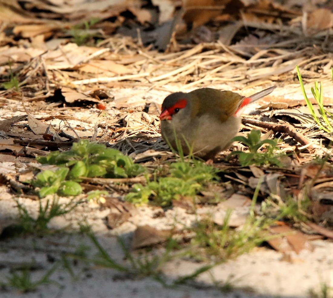 Finch, red-browed p
