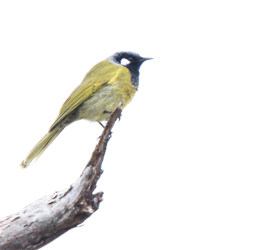 Honeyeater, White-eared