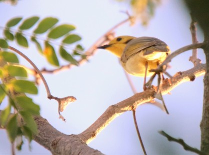 Honeyeater, Yellow-tinted 2