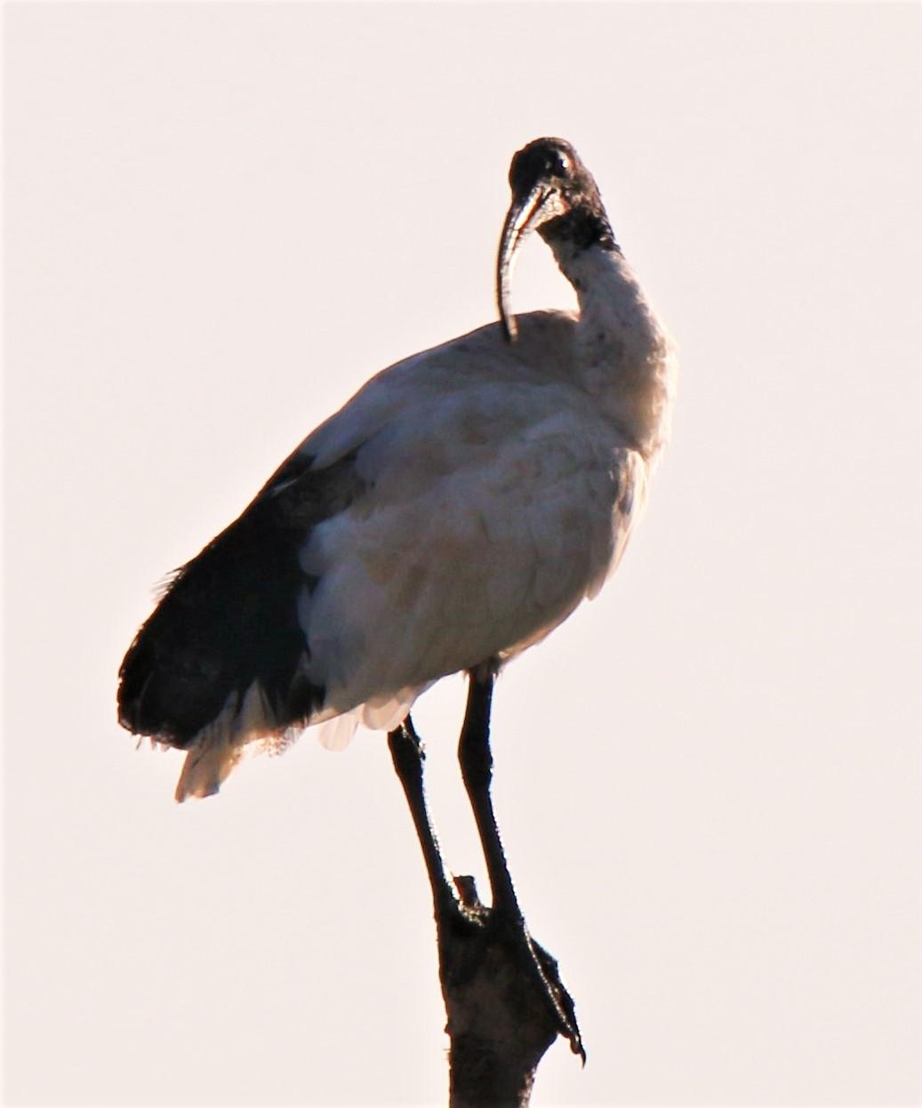 Ibis, Sacred