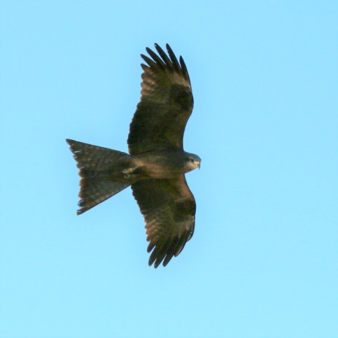 Kite, Black