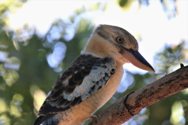 Kookaburra, Blue-winged 2