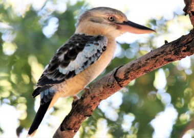 Kookaburra, Blue-winged ssp occidentalis m