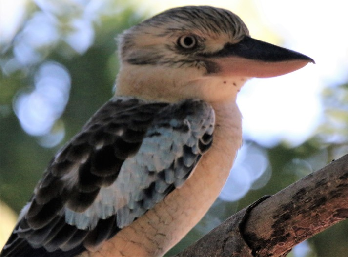 Kookaburra, Blue-winged
