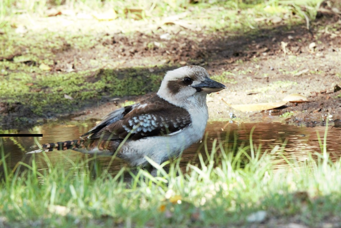 Kookaburra, Laughing