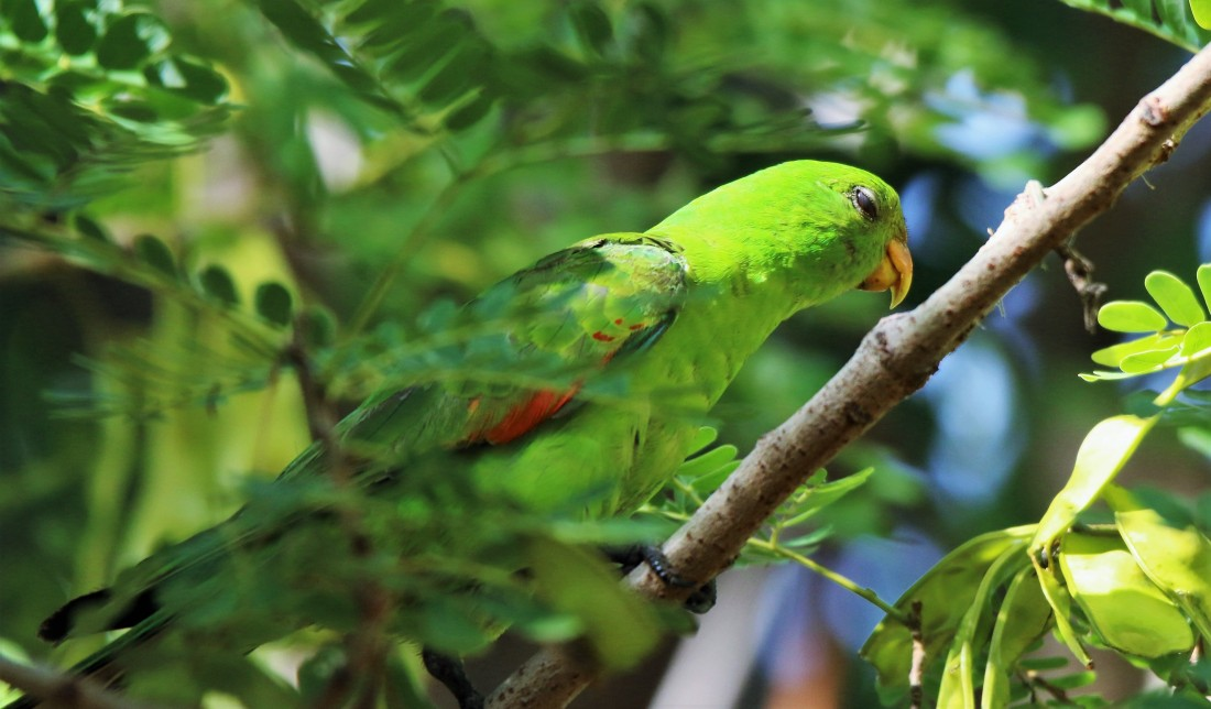 Parrot, red-winged juv