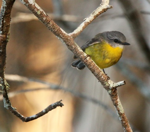 Robin, Eastern Yellow