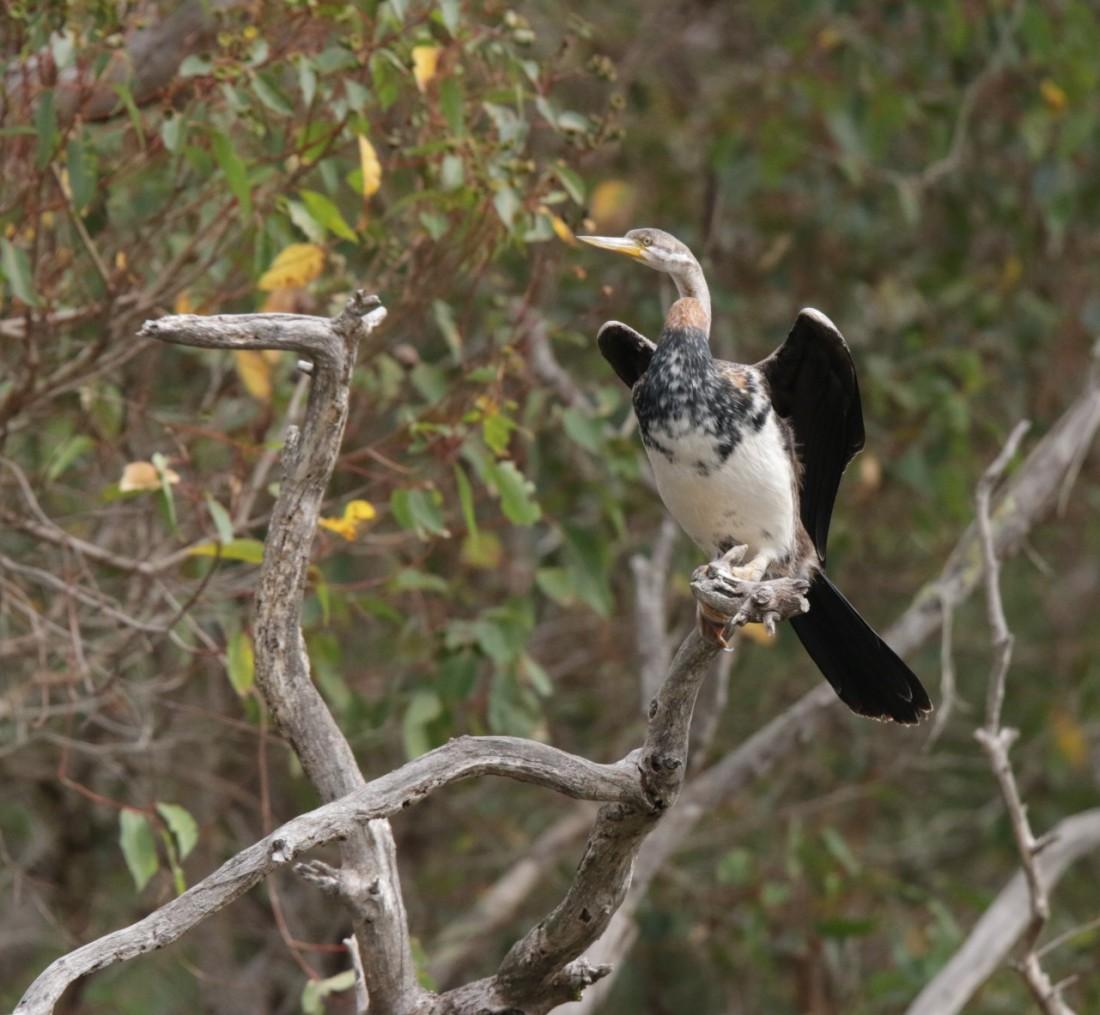 Darter, Australasian, mat juv