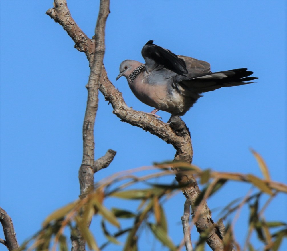 Dove, Spotted 3