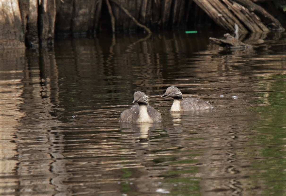 Grebe, Hoary-headed