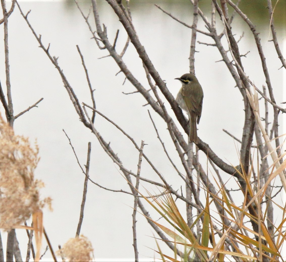 Honeyeater, Yellow-faced 2