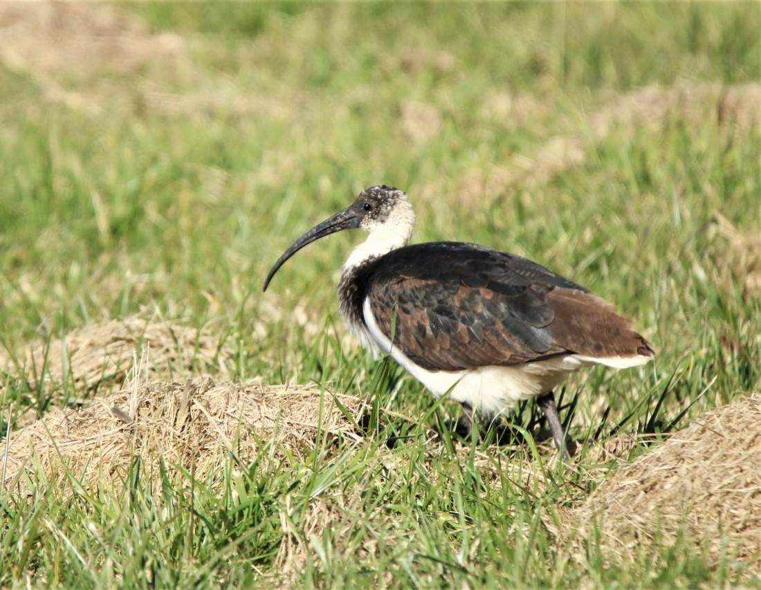 Ibis, Straw-necked