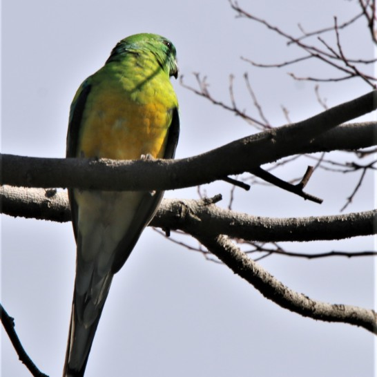 Parrot, Red-rumped m