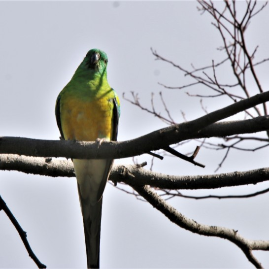 Parrot, Red-rumped