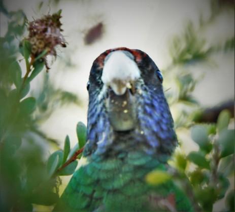 Parrot, Ring-neck