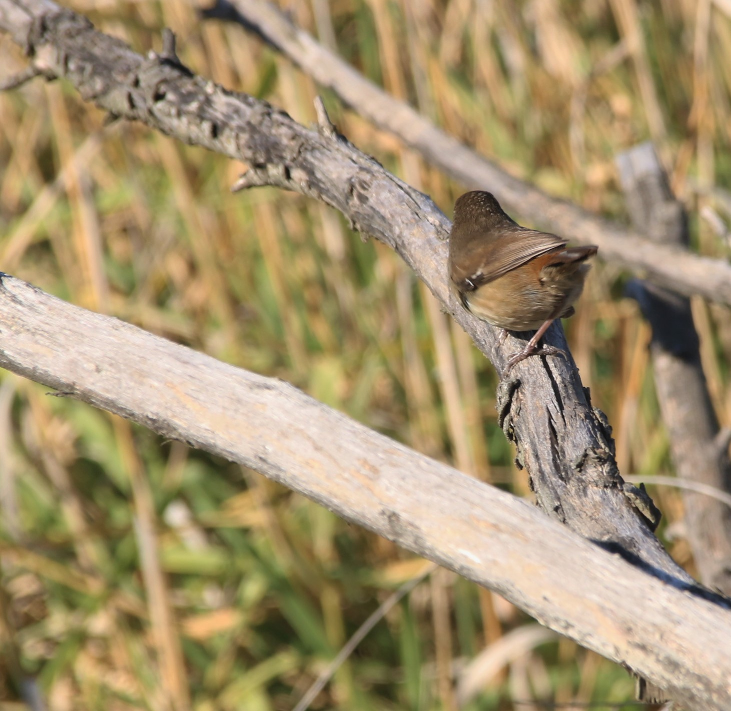 Thornbill, Brown